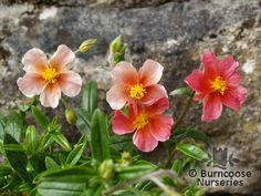 HELIANTHEMUM 'Ben Ledi'  - All pictures are for illustrative purposes only. The actual condition of individual plants may of course vary depending on the time of the year, the weather and growing conditions at that time.