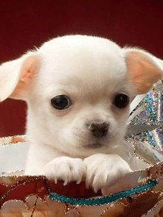 Effective Potty Training Chihuahua Consistency Is Key Ideas. Brilliant Potty Training Chihuahua Consistency Is Key Ideas. Chihuahua Puppies, Cute Puppies, Cute Dogs, Dogs And Puppies, Teacup Chihuahua, Doggies, White Chihuahua, Cute Baby Animals, Animals And Pets