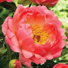 Coral Sunset Peony for Sale   Peony: Paeonia lactiflora 'Coral Sunset' 2 Gallon