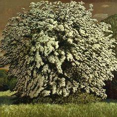 "David Inshaw (English, born 1943) ""The May tree"""