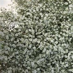 How to Grow Baby's Breath or Gypsophilia