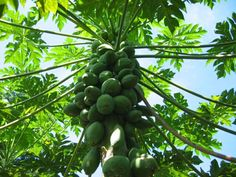 #Papita (Carica Papaya) is well known for its exceptional #nutritional and #medicinal properties throughout the world. From the times immemorial #papaya plants including its various parts are used in traditional system of #medicine. #Papaya root helps to relieve #kidney ischemia (raised #bloodpressure) by the inhibition of #rennin angiotensin system. Thus, regulates the fluid balance.   #KidneyFailureTreatment #KidneySymptoms #KidneyDisease #KidneyFailure