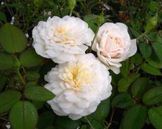 Interested In Rare Roses? Try The California Costal Rose Society Auction! Read about the auction here http://www.finegardening.com/item/25184/interested-in-rare-roses-try-the-california-costal-rose-society-auction#