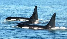 Learn more about the #killerwhales off our coast. #research #conservation #whales