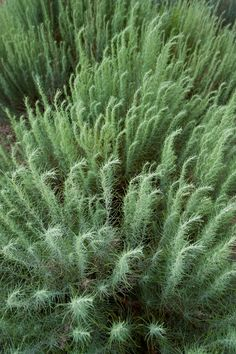 Artemisia filifolia: dominant grassland plant