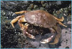 the wonderful crab from the Oregon coast
