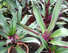 Oyster Plant (Tradescantia Spathacea) Moses-in-the-cradle Two Live Plants