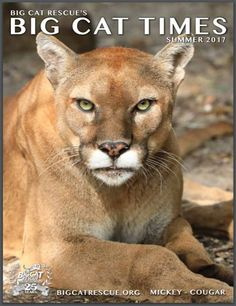 Big Cat Times Magazine 2017 Summer EditionLove Big Cat Magazines?  Download the latest Big Cat Times here for FREE https://catrescue.myshopify.com/products/big-cat-times-magazine-2017-summer