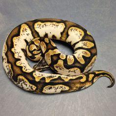Pastel Calico ball python Pretty Snakes, Cool Snakes, Beautiful Snakes, Cute Reptiles, Reptiles And Amphibians, Red Footed Tortoise, Milk Snake, Types Of Snake, Python Regius