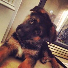 German shepherd puppy... Baroo to you too little darling. :)