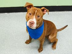 SAFE --- URGENT - Manhattan Center   CHUCK - A0986252   MALE, BROWN / WHITE, AM PIT BULL TER MIX, 11 mos  STRAY - STRAY WAIT, NO HOLD  Reason ABANDON  Intake condition NONE Intake Date 11/30/2013, From NY 10469, DueOut Date 12/03/2013, I came in with Group/Litter #K13-161685 Original thread:  https://www.facebook.com/photo.php?fbid=717977474881801&set=a.617938651552351.1073741868.152876678058553&type=3&permPage=1  ---very playful---