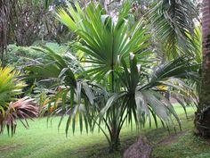 Sabal mauritiiformis Hawaii Decoration, Palm Trees, Plant Leaves, Hawaii, Tropical, Backyard, Oasis, Garden Ideas, Beach House