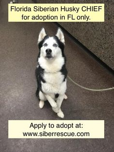 #Florida #Siberian #Husky CHIEF for #adoption in #FL only: http://www.siberrescue.com/