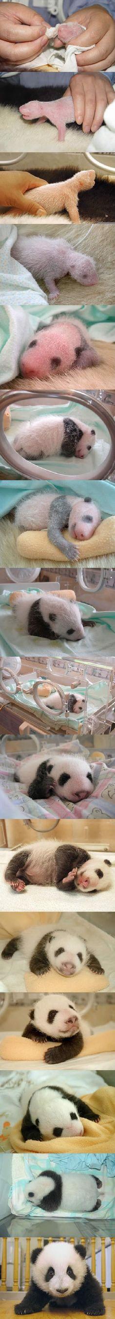 Who doesn't like Pandas?