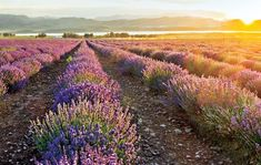 Young Living Essential Oils, the leading provider of essential oils, offers more than 300 essential oil singles and blends.