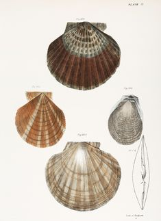 Different types of seashells illustration from Zoology of New york (1842 - 1844) by James Ellsworth De Kay (1792-1851).   free image by rawpixel.com