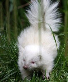 Hes all-white: Tiny rare albino skunk becomes unlikely star of the show at zoo The tiny creature born three weeks ago at Five Sisters Zoo in West Lothian Animal would have died in wild as skunks rely on distinctive colouring By AMANDA WILLIAMS Rare Albino Animals, Unusual Animals, Cute Baby Animals, Animals And Pets, Funny Animals, Beautiful Creatures, Animals Beautiful, Melanistic Animals, Baby Skunks