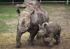"""The Western Black Rhino of Africa was declared officially extinct last week. The Northern White Rhino of central Africa is now """"possibly extinct"""" in the wild and the Javan Rhino """"probably extinct"""" in Vietnam, after poachers killed the last animal there in 2010."""