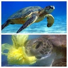 Please think of these turtles when you either use unnecessary plastic, litter, or improperly dispose of your garbage. As you can see, the turtle on the bottom has mistaken a plastic bag for the jellyfish he usually eats. This consumption can lead to his death. #Recycle #Conservation #DontLitter #Environment #Nature #Ocean #Pollution #Turtle #SeaTurtle (pictures from http://www.sisterfrombelow.com/2013/02/the-sea-turtle-muse.html?m=1 and…