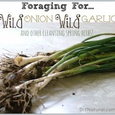 Foraging Wild Onion Wild Garlic and Other Cleansing Spring Herbs