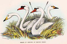 Swans, Mute, Bewick's & Whooper. 1896 Original Antique Bird Print, Colour lithograph