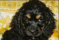 """This was the picture that made us fall in love with a rescue puppy from Missouri. Addison will be six in April. She was Anne Bachelier's model for Toto in her illustrations for """"The Wonderful Wizard of Oz"""" published by CFM Gallery. #dog #cockerspaniel #cocker #puppy #rescuedog #toto #oz #wonderfulwizardofoz #annebachelier #bachelier"""