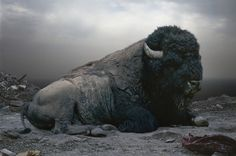 Buffalo in moody setting