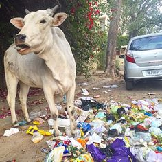 Seeing this cow munching his way through trash last week in Jiapur got us thinking about ways to reduce the the amount of garbage we create. Check out this weeks blog post for some easy everyday tips on how to cut down on waste! Link in our bio. #reducereuserecycle #ecofriendly #ecofashion #gogreen #jiapur  @shopvirtueandvice  #India