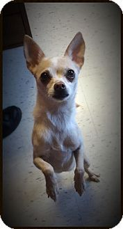 Raleigh, NC - Chihuahua/Terrier (Unknown Type, Medium) Mix. Meet Chica, a dog for adoption. http://www.adoptapet.com/pet/12602876-raleigh-north-carolina-chihuahua-mix