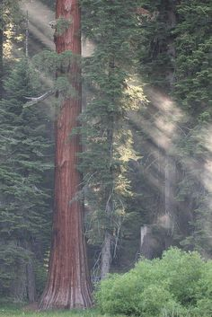 Late Afternoon Light Through Giant Forest by ~ Sequoia National Park, CA* Wyoming, Oh The Places You'll Go, Places To Visit, Beautiful World, Beautiful Places, Sequoia National Park, Tree Forest, Gaia, The Great Outdoors