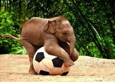 baby elephant playing with a blow up soccer ball