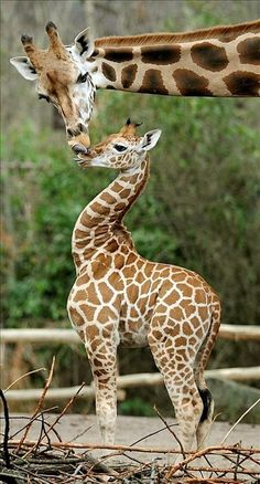 does ANY creature kiss as much as the giraffe .... I don't think so