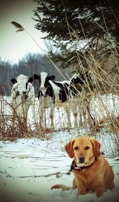 A yellow Labrador and his cows Country Farm, Country Life, Country Living, Country Roads, Especie Animal, Mundo Animal, Beautiful Creatures, Animals Beautiful, Farm Animals