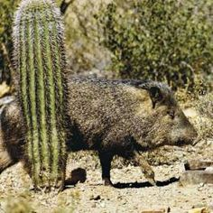 TIPS: Protecting Landscapes From Javelinas #tipsforgardening #diy #arizonaproblems
