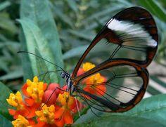 Un papillon aux ailes translucides ??