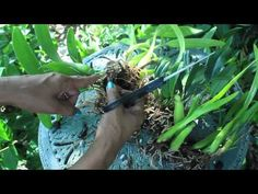 How To Propagate & Divide Orchids - Aggregatum, Encyclia, Mitonia, Brassavolae, Cattleya - YouTube