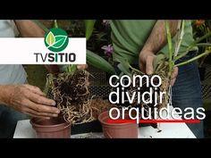 COMO SEPARAR ORQUÍDEAS SEM DANIFICAR A PLANTA - YouTube