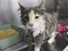 Sookie - Domestic Short Hair Mix • Adult • Female • Medium  McMinn Regional Humane Society Athens, TN  Two year old girl, owner surrender, is good with kids and other cats. She must be adopted before June 3