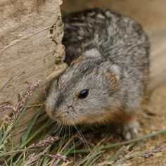 Lemminger frygter sommer | Videnskab.dk Arctic Lemming, Image Search, Animals, Rare Animals, Arctic, Summer, Animales, Animaux, Animal