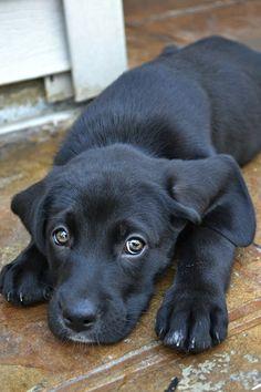 Precious black lab puppy