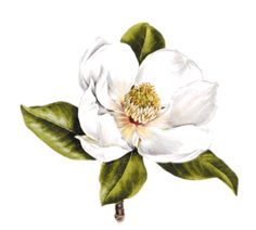 Perfect size for a memorial tattoo. Beautiful magnolia blossom for my amazing grandma! Floral Illustrations, Botanical Illustration, Arm Tattoos, Flower Tattoos, Leprechaun Tattoos, Memorial Tattoos, Flower Clipart, Magnolia Flower, Stuff And Thangs