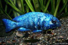 "Placidochromis sp phenochilus tanzania James MARTIN male2 800.jpg (800×534) Placidochromis sp. ""phenochilus Tanzania"" - compatible"