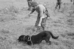 Mine dogs were recruited from Battersea Dogs Home or a police pound. Others were lent to the Army by families, who were struggling to feed their pets as rationing grew tighter.