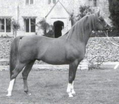 U.K. Crabbet Arabian Sires of Significance: General Gold, Silver Flame, and Silver Blue, by Alexia Ross
