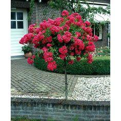 Rosenstämmchen Blütenmeer, 1 Pflanze kleinblütig, Rosa blühend