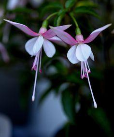 Twin Fuchsia Flowers