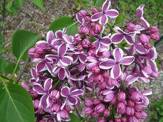 Syringa vulgaris 'Sensation' Lilac