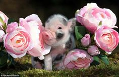 I desperately want a mini pig! I desperately want a mini pig! I desperately want a mini pig! This Little Piggy, Little Doll, Little Pigs, Amazing Animals, Animals Beautiful, Baby Animals, Funny Animals, Cute Animals, Teacup Pigs