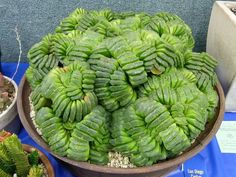Haworthia Truncata Hybrid Succulents