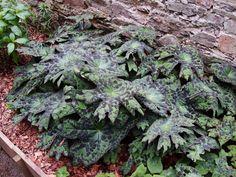 All sizes | Podophyllum | Flickr - Photo Sharing! Hardy Perennials, Unique Plants, Ornamental Plants, Garden Art, Indoor Plants, Succulents, Tropical, Gardens, Decorating